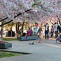 Cherry Blossoms 2013 - 069 by Metro DC Photography
