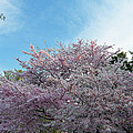Cherry Blossoms 2013 - 070 by Metro DC Photography