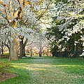 Cherry Blossoms 2013 - 075 by Metro DC Photography