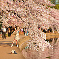 Cherry Blossoms 2013 - 076 by Metro DC Photography