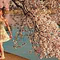 Cherry Blossoms 2013 - 082 by Metro DC Photography