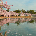 Cherry Blossoms 2013 - 083 by Metro DC Photography