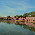 Cherry Blossoms 2013 - 087 by Metro DC Photography