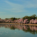 Cherry Blossoms 2013 - 088 by Metro DC Photography