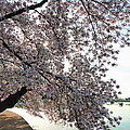 Cherry Blossoms 2013 - 092 by Metro DC Photography