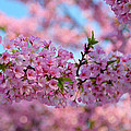 Cherry Blossoms 2013 - 095 by Metro DC Photography