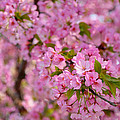 Cherry Blossoms 2013 - 096 by Metro DC Photography
