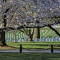 Cherry Blossoms Adorn Arlington National Cemetery by Susan Candelario