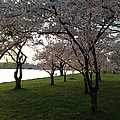 Cherry Blossoms Along The Potomac by Lois  Ivancin Tavaf