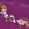 Cherry Blossoms And Plum Door by Byron Varvarigos