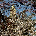 Cherry Blossoms And The Monument by John Feiser