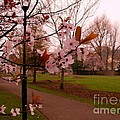 Cherry Blossoms At Kirkland In Kendal by Joan-Violet Stretch