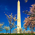 Cherry Blossoms At The Monument by Nick Zelinsky