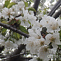 Cherry Blossoms Branching Out by Brenda Brown