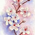 Cherry Blossoms by Brett Winn