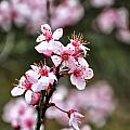 Cherry Blossoms by Chris Flees