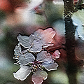 Cherry Blossoms by Ericamaxine Price