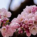Cherry Blossoms Finally by Kathi Isserman