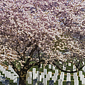 Cherry Blossoms Grace Arlington National Cemetery by Susan Candelario