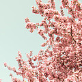 Cherry Blossoms In Spring by Christina Klausen