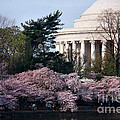 Cherry Blossoms Jefferson Memorial by Luv Photography