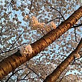 Cherry Blossoms by Lois  Ivancin Tavaf