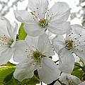 Cherry Blossoms by Loreta Mickiene