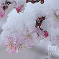 Cherry  Blossoms by Luv Photography