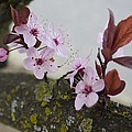 Cherry Blossoms On A Branch by Michelle Torres