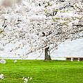 Cherry Blossoms On The Shore Of Fort Mchenry by Susan Schmitz