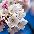 Cherry Blossoms by Patricia Babbitt