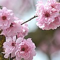 Cherry Blossoms by P S
