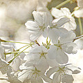 Cherry Blossoms by Peggy Hughes