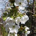 Cherry Blossoms by Rain Shine