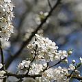 Cherry Blossoms by Robert Kimble