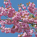 Cherry Blossoms by Sharon Talson