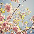Cherry Blossoms by Sophie McAulay