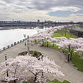 Cherry Blossoms Trees Along Willamette River Waterfront by Jit Lim