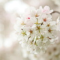 Cherry Blossoms - Washington Dc - 0113101 by DC Photographer