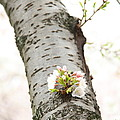 Cherry Blossoms - Washington Dc - 0113106 by DC Photographer
