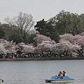 Cherry Blossoms - Washington Dc - 011315 by DC Photographer