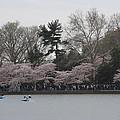 Cherry Blossoms - Washington Dc - 011317 by DC Photographer