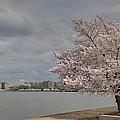 Cherry Blossoms - Washington Dc - 011362 by DC Photographer
