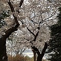 Cherry Blossoms - Washington Dc - 011373 by DC Photographer