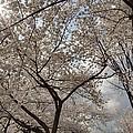 Cherry Blossoms - Washington Dc - 011375 by DC Photographer