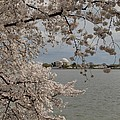 Cherry Blossoms With Jefferson Memorial - Washington Dc - 011320 by DC Photographer