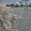 Cherry Blossoms With Jefferson Memorial - Washington Dc - 011321 by DC Photographer