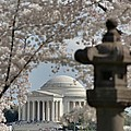 Cherry Blossoms With Jefferson Memorial - Washington Dc - 011326 by DC Photographer