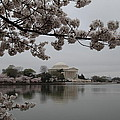 Cherry Blossoms With Jefferson Memorial - Washington Dc - 011343 by DC Photographer