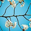 Cherry Blossoms With Sky by Raimond Klavins